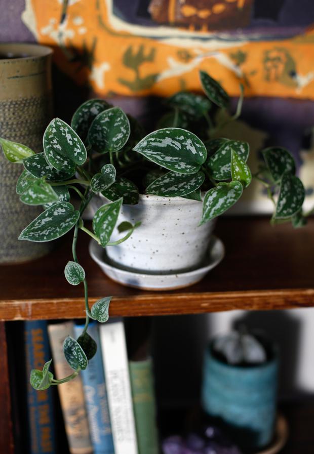 Plantopedia-Satin-Pothos-Detail