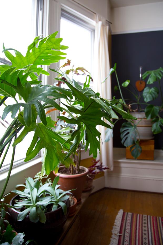 plantopedia-philodendron
